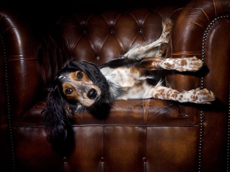 Hund auf Designsofa