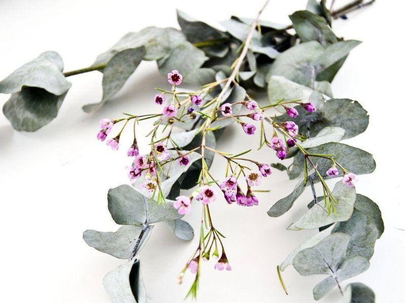 Trockenblumen Eukalyptus