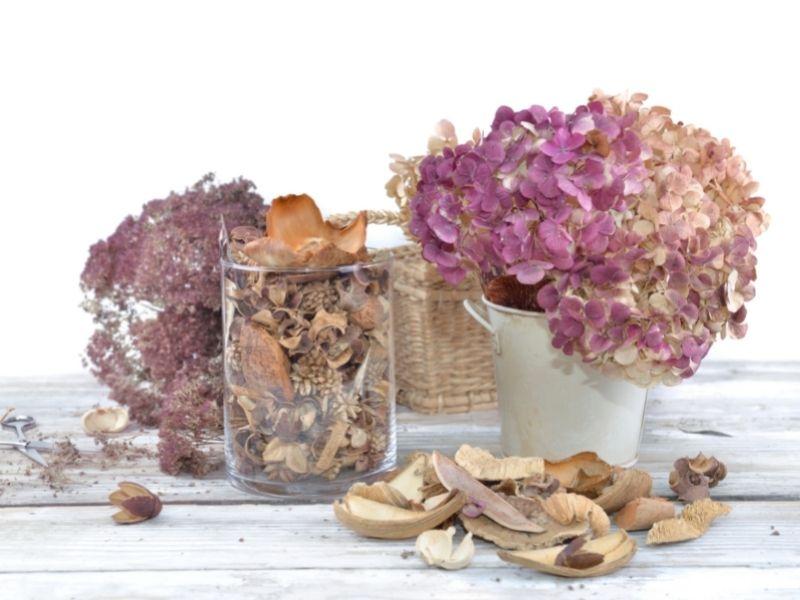 Hortensien als Trockenpflanze