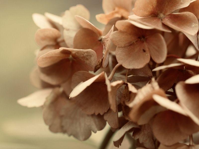 Hortensien verlieren beim trocknen Farbe