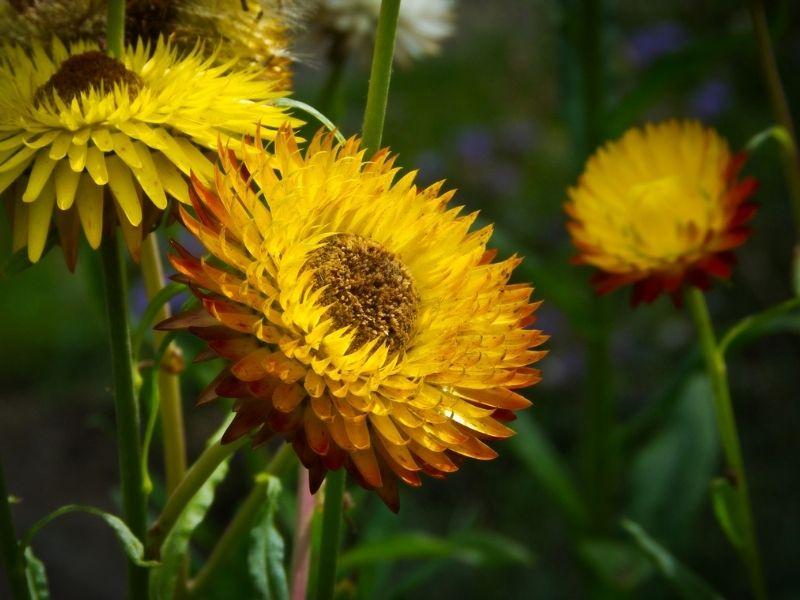 Strohblumen lassen sich gut trocknen